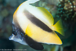 BD-121128-Aqaba-7572-Heniochus-intermedius.-Steindachner.-1893-[Red-sea-bannerfish].jpg